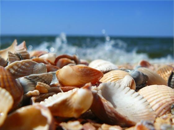 crea conchas en la orilla del mar